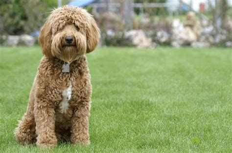 goldendoodle puppy breathing fast 1000 images about goldendoodles on
