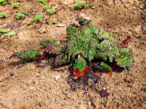 rhabarber garten rhabarber umpflanzen rhabarber pflanzen tipps zur pflege
