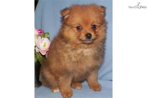 pomeranians for sale in syracuse ny pomeranian for sale for 700 near syracuse new york 4649aa68 8511