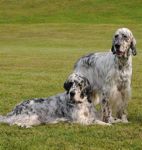 setter pointer dog 475 best english setters images on pinterest doggies