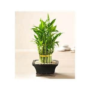 order japanese bonsai trees lucky bamboo gardens indoor bo polyvore