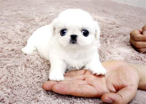 teacup pekingese puppies for sale 17 best ideas about pekingese puppies on pekingese dogs baby puppies and