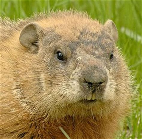 groundhog day groundhog name september 2011 rate every animal