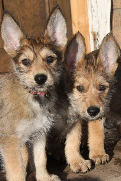 berger picard puppies for sale berger de picardie pictures berger de picardie puppies for sale breeds picture