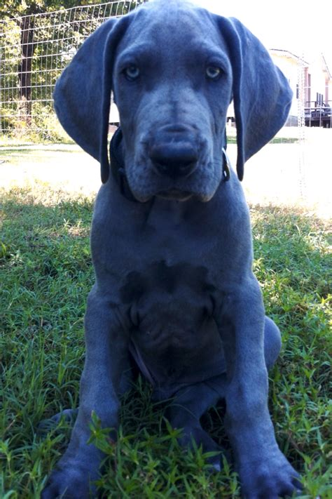 blue great dane puppy discover and save creative ideas