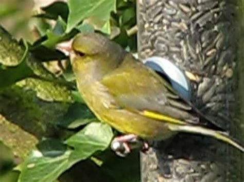greenfinch close up eating sunflower seeds from my garden