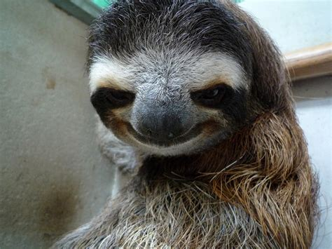 Pervy Sloth Meme - three armed sloth this poor sloth is still smiling even