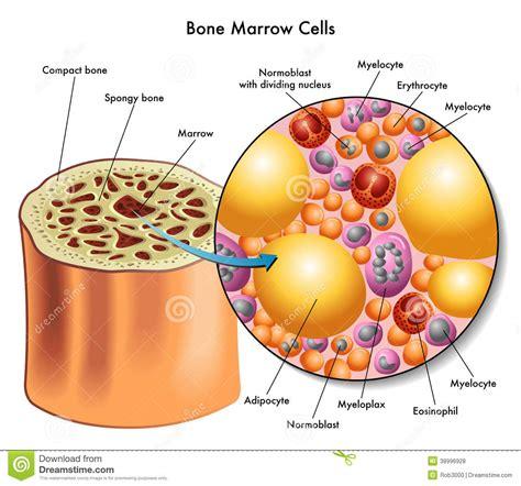test sulla cellula cellule midollo osseo illustrazione vettoriale