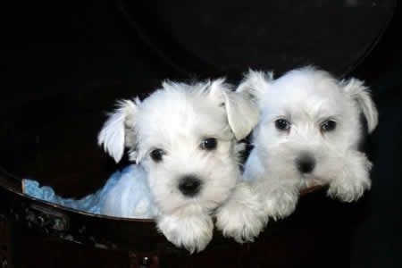 white miniature schnauzer puppies 1000 ideas about pitbull puppies for sale on pitbulls for sale blue
