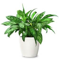 ornamental plant chinese evergreen ornamental plant small indoor plants to decorate house photos pics 230292