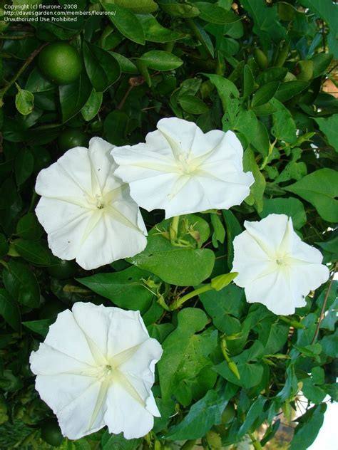 plantfiles pictures moonflower moon vine giant white moonflower ipomoea alba by fleurone