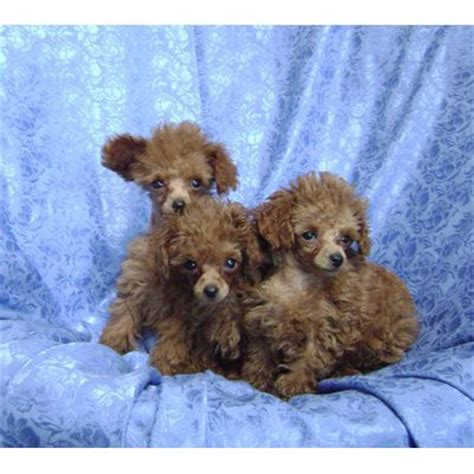 tiny poodle lifespan tiny poodle size dogs in our photo