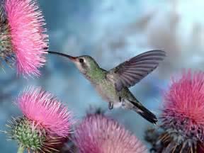 hummingbirds young gardener