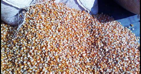 Bibit Jagung Lokal harga jagung bns indonesia impor jagung meningkat sai 200