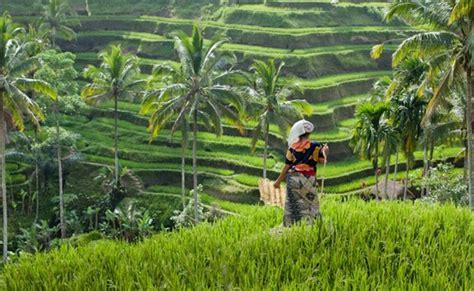 ubud rice paddy field aussie bali tours