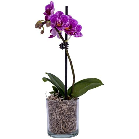 2 in. Orchid Phal P02 01   The Home Depot