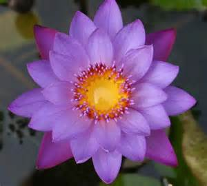 Sacred Lotus Purple Image Search And Purple Tops On