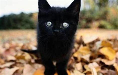 gatto nero testo ecco il gatto nero day senza festeggiamenti per via