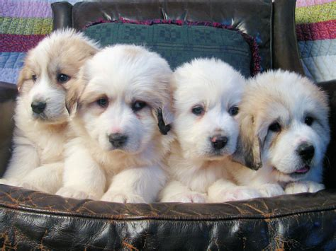 free great pyrenees puppies 1000 images about graceful great pyrenees on pyrenees puppies puppys and