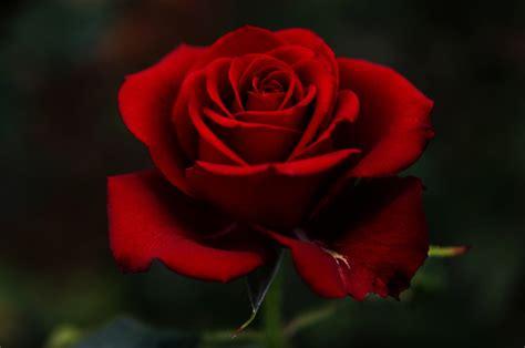 imagenes bellas rojas fotograf 237 as de rosas lindas im 225 genes de flores naturales