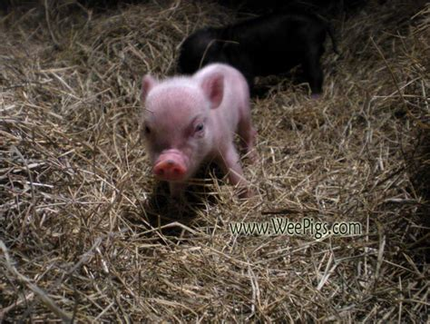 min potbelly pigs as pets