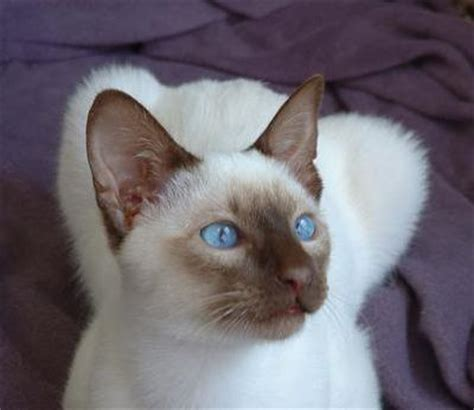 Siamese Cat Breed Facts & Pictures   petMD   petMD