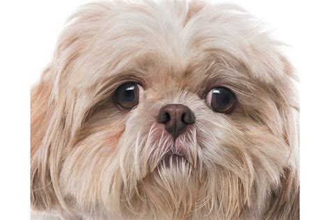 flat faced dogs health issues for brachycephalic or flat faced dogs