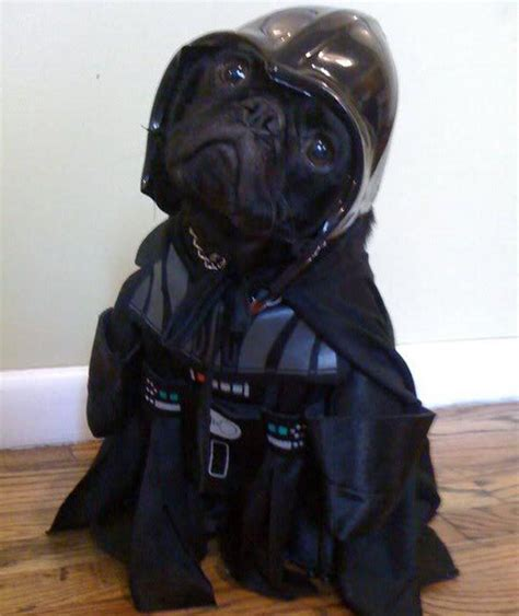 wars pug costume darth pug costume wars pug parade pictures pics express co uk