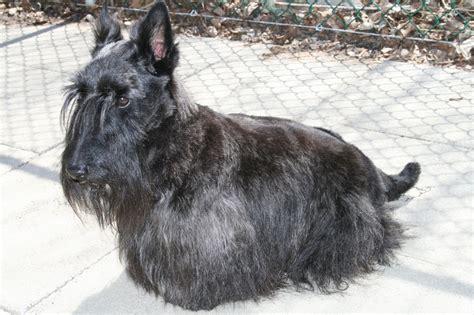 types of scottie grooming styles doggie styles pet grooming 10 photos 12 reviews pet