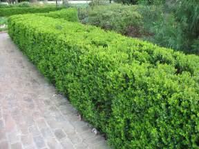online plant guide buxus sinica var insularis