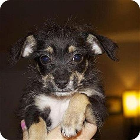 chihuahua poodle mix puppies sawyer adopted puppy simi valley los angeles ca chihuahua poodle miniature mix