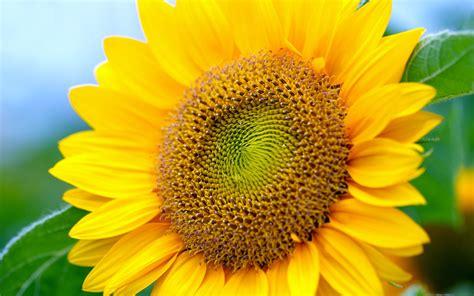 Garden Decoration Ideas sunflowers