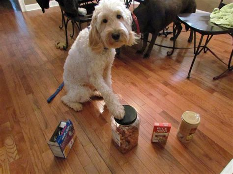 goldendoodle food goldendoodle breeder ny goldendoodle puppies ny