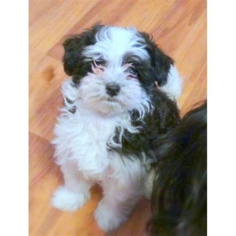 free puppies bay city mi clever canines n cement city havanese breeder in cement