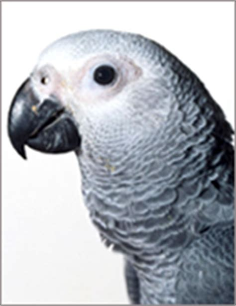 african grey inherited traits about african grey parrot training temperament