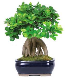 ginseng grafted ficus bonsai tree asian plants by brussel s bonsai