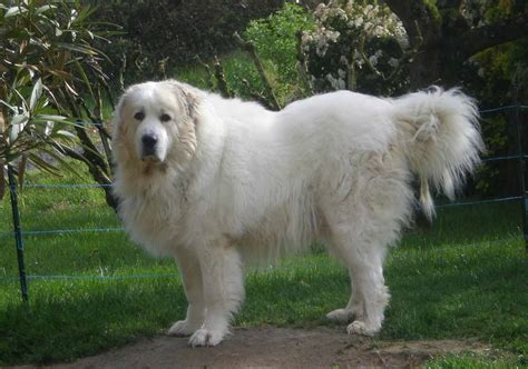 grand pyrenees great pyrenees all big breeds
