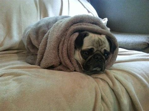pugs in blankets pug in a blanket i want a zoo really bad