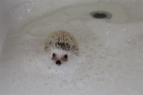 hedgehog bathtub the gallery for gt hedgehog bath gif