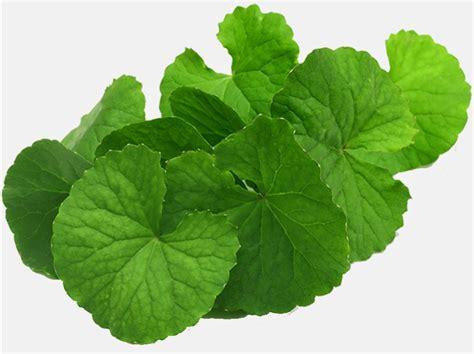 Daun Pegagan Kering Nutrisi Penambah Daya Ingat walatra brain nutrition kapsul suplemen herbal ekstrak daun pegagan