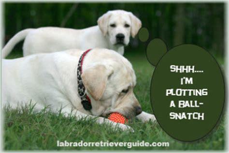 Labrador Meme - funny labrador retriever memes