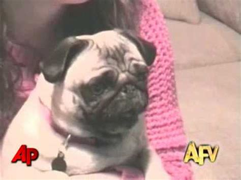 americas funniest home  animal clips youtube