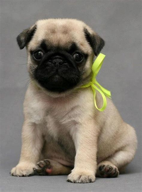 really pugs pin really pug puppies image search results on