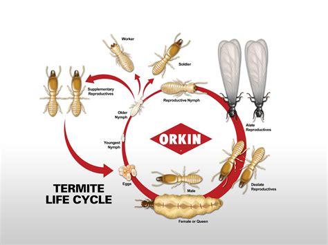 termite life cycle lifespan  long  termites