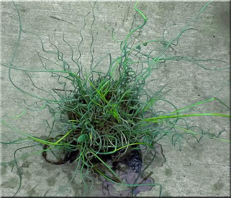 Green Thumb Garden Center by Corkscrew Rush Or Juncus Effusus Spiralis Water Plant