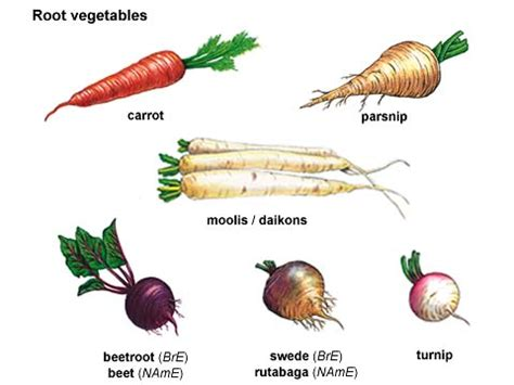 Names Of Modified Roots by Turnip Noun Definition Pictures Pronunciation And