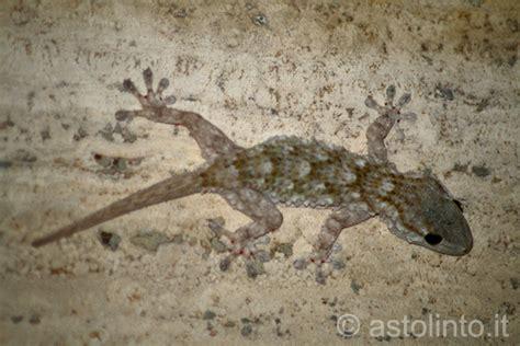 alimentazione geco geco comune tarentola mauritanica astolinto 176