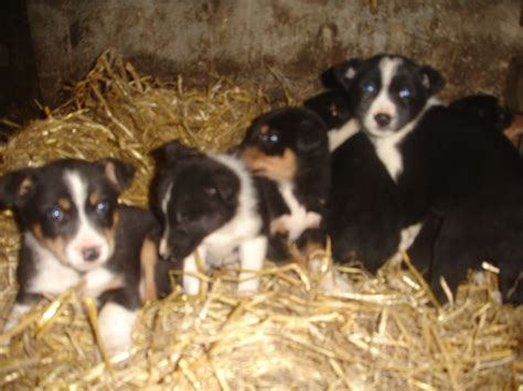 border collie puppies for sale in ohio border collie puppies for quotes
