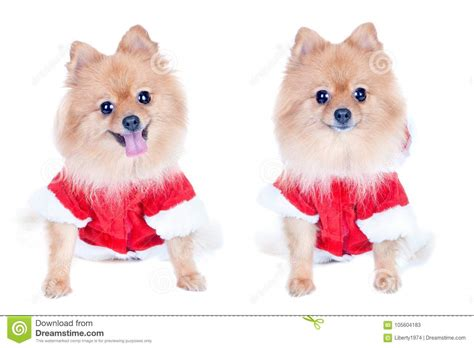 new year cat costume pomeranian in new year costume isolated stock image