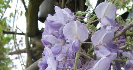 blauwe regen weinig bloemen roke s erf boerenleven onder de blauwe regen